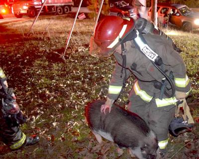 11.19, pig escapes fire