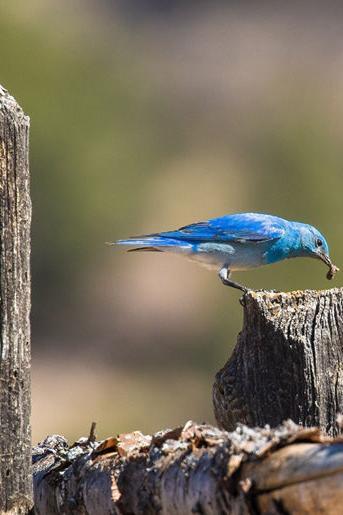 Volunteers needed to monitor bluebird nests