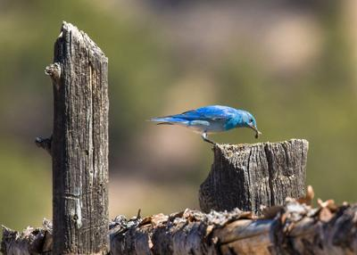 A mountain bluebird searches for a meal