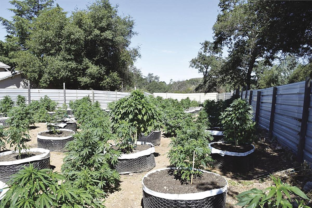 calaveras sheriff busts illegal marijuana grow u0026 fighting