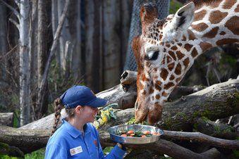 Giraffe Dies