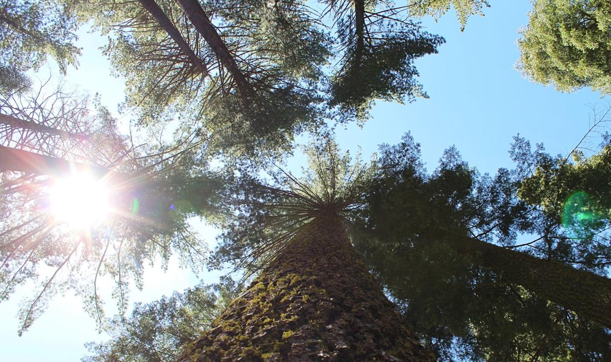 3. Ancient Ponderosa Pine trees and a snowmelt creek accompanied the two on their hike. Photo by Sarah Spinetta .jpg