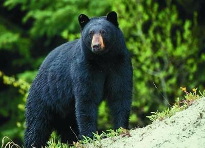 Black bear season
