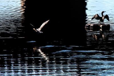 A couple of cormorants