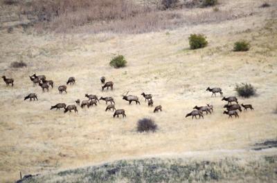 Elk decline in Blue Mountains puzzles WDFW