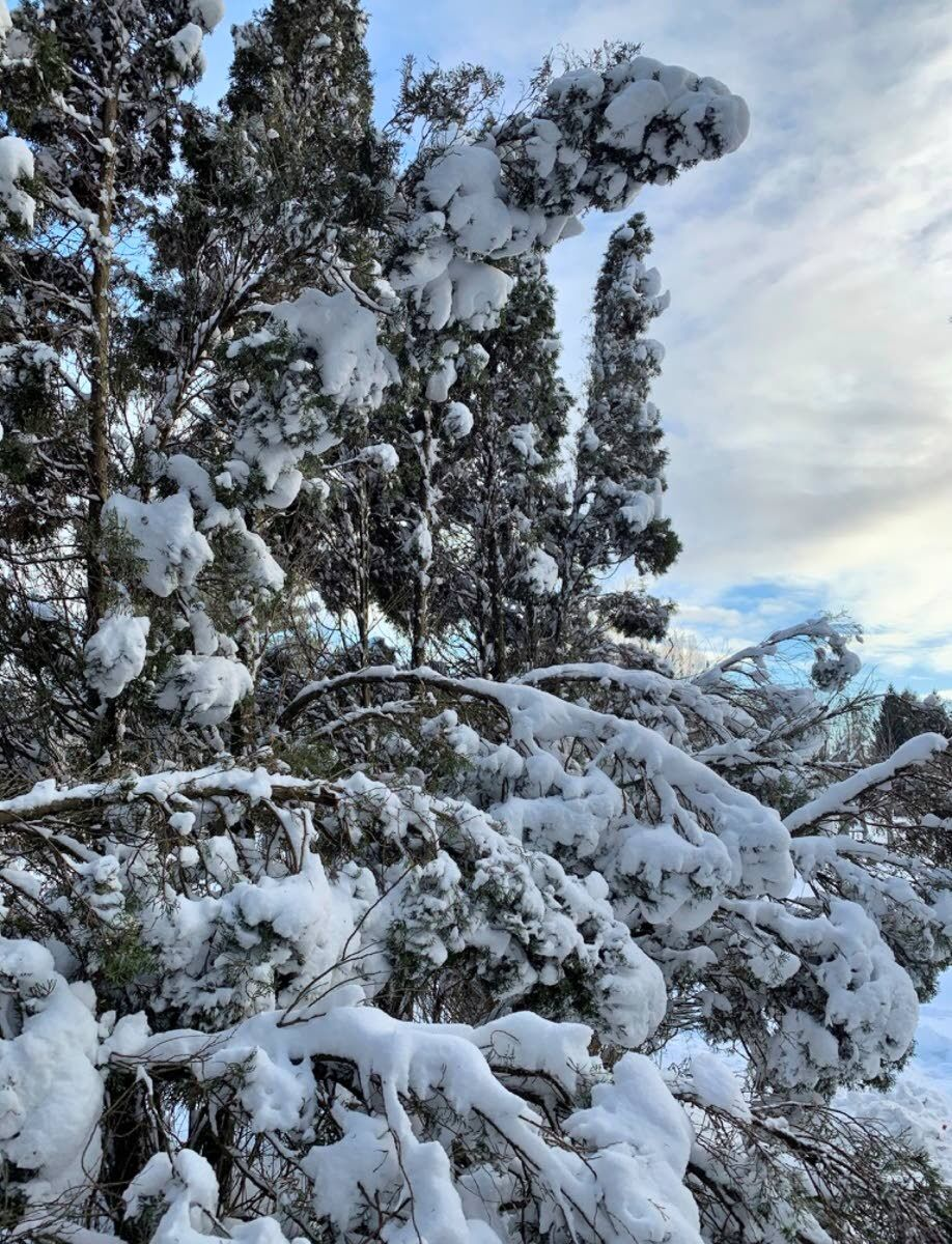 It's possible to heal trees damaged by snow