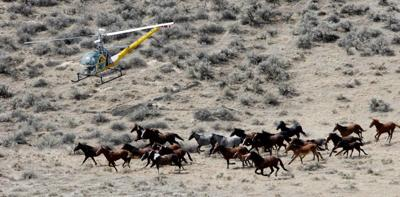 Officials eye ways to limit wild horse numbers