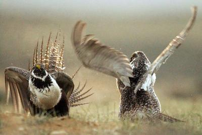 Trump administration would ease protections for sage grouse