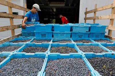 Maine blueberry industry faces another potential low harvest