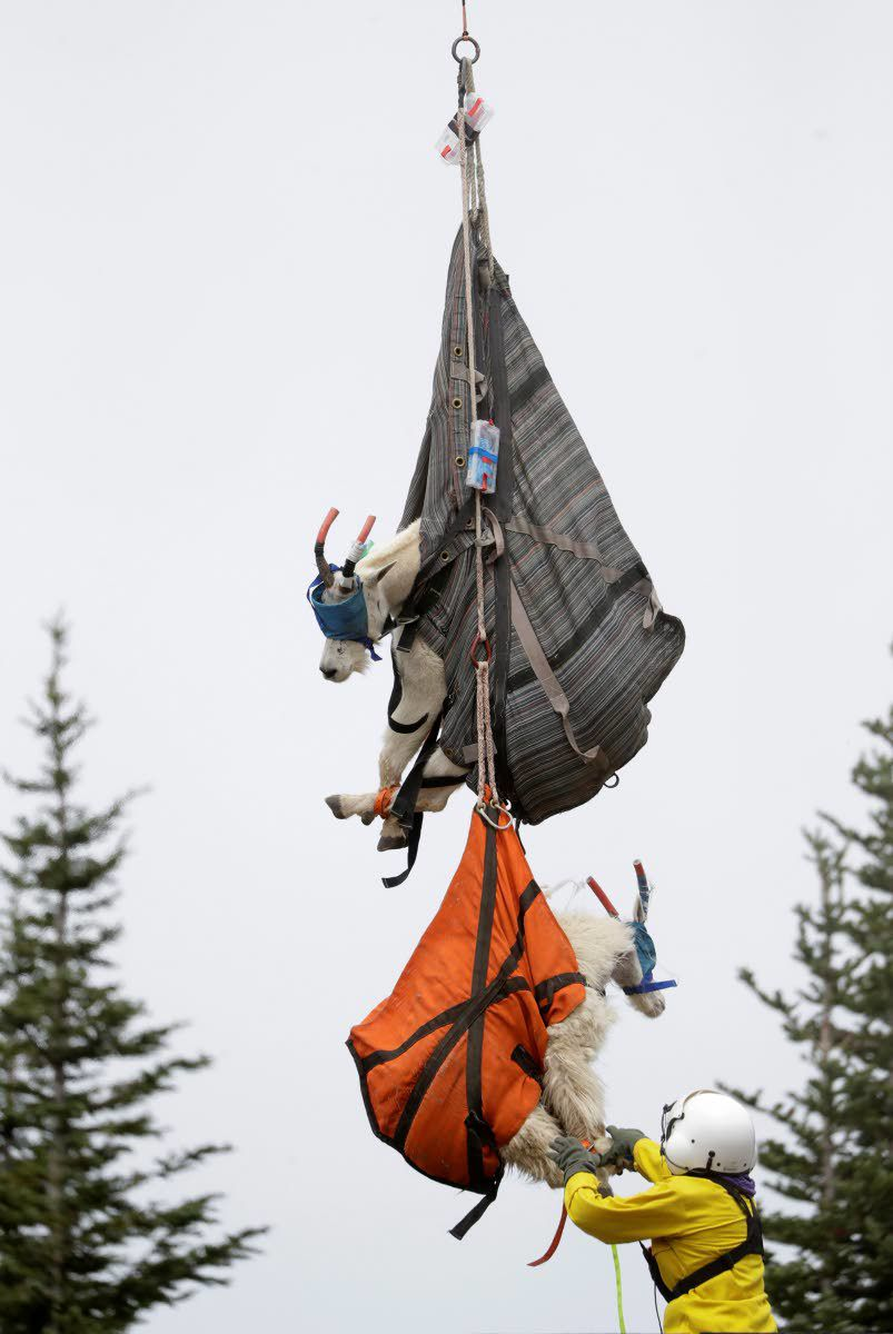 Mountain goats take wing in relocation effort