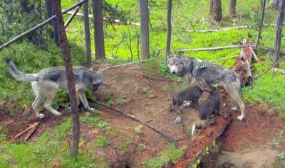 Study suggests monogamous wolves make better parents