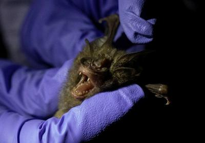 Do bats hold clues to preventing the next pandemic?