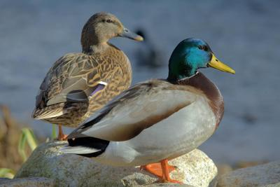 Duck, geese numbers take a slight dip