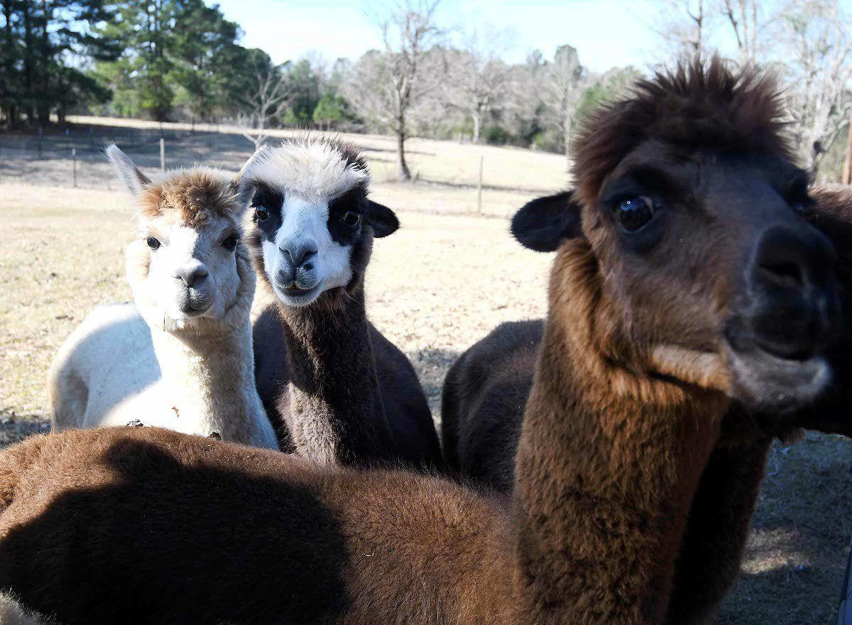 Now you can Alpaca your bags and head to the farm