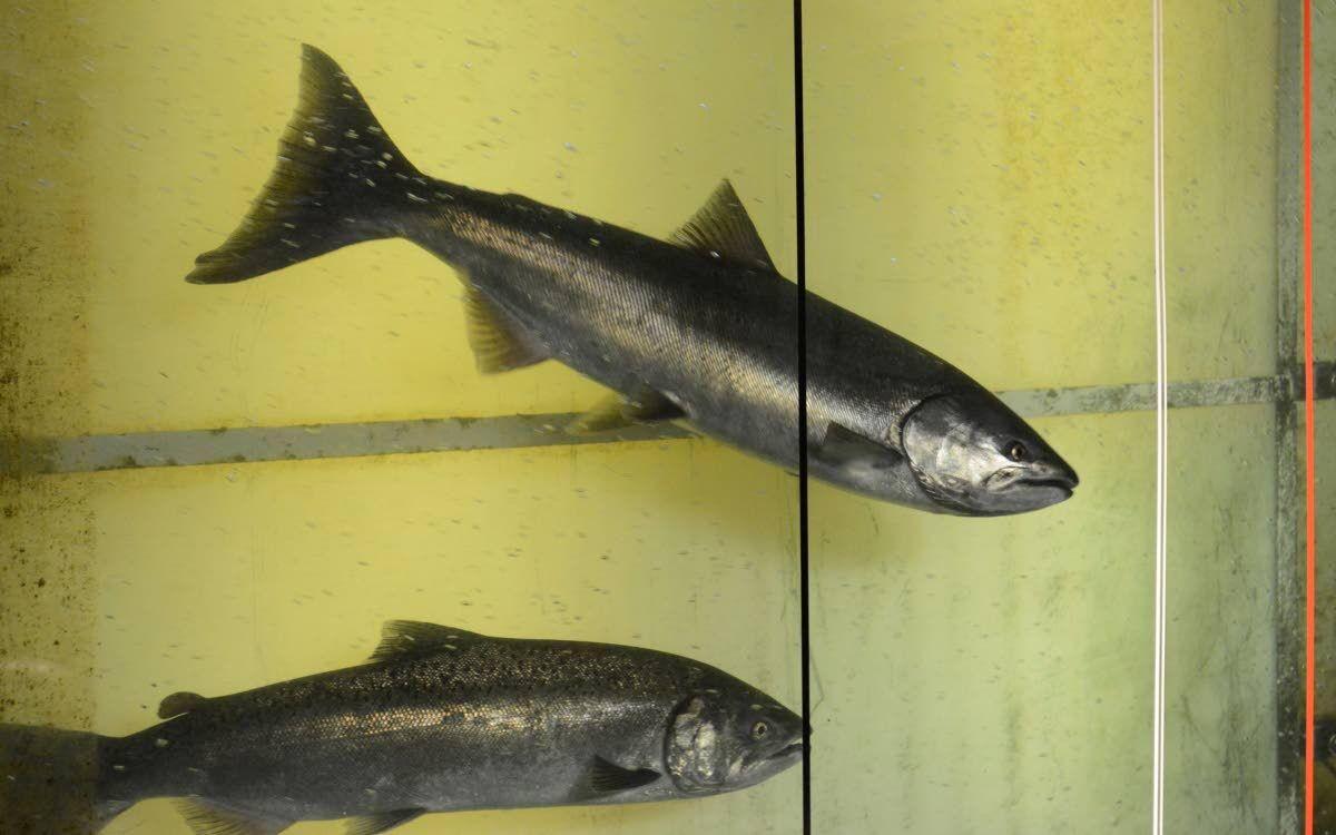 Study links salmon woes to ocean