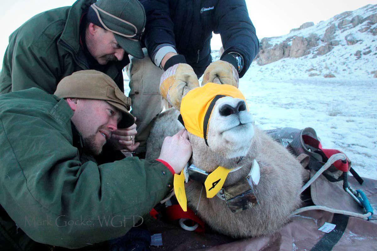 Wyoming sides with federal agency in choosing native bighorns over goats