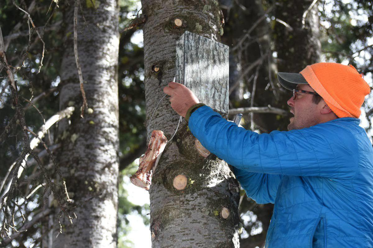 On the trail of the elusive wolverine