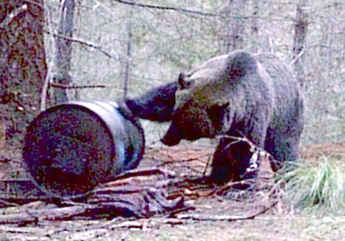 Grizzly saga