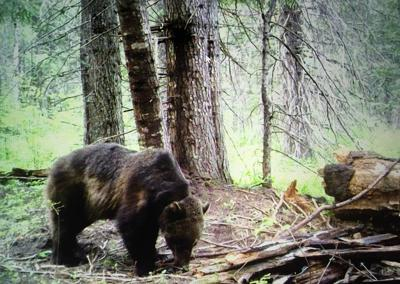 Grizzly moves into Selway-Bitterroot Wilderness