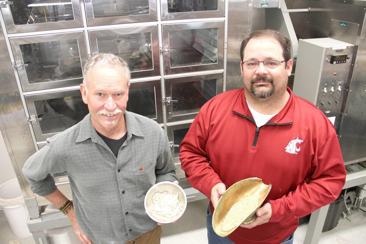 WSU's new wheat is touted to make better noodles