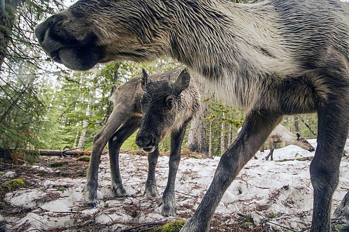Woodland Caribou S Sad Decline Outdoors Lmtribune Com
