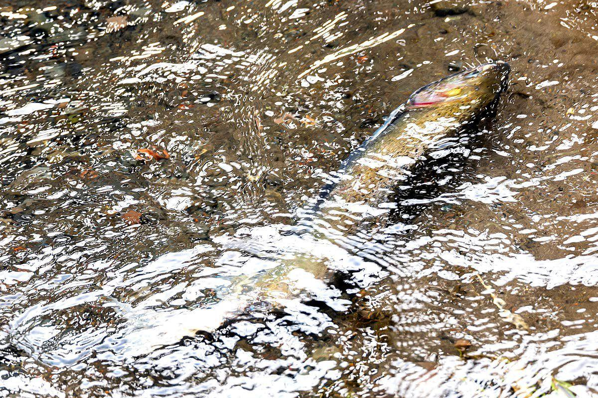 Coho a bright spot in dismal season  for fish