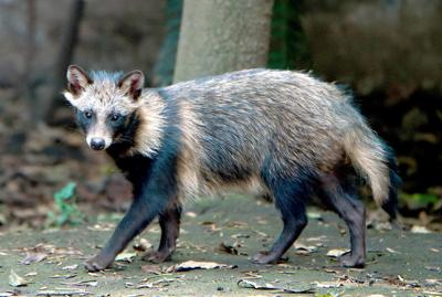 Asian raccoon dogs once nearly invaded