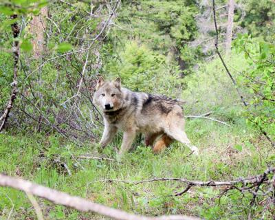 Wolf seasons amended to comply with law
