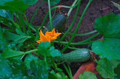 Pollinators need veggies, too