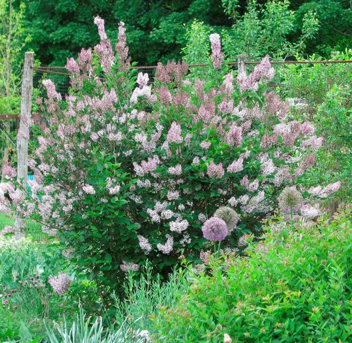 Give other lilac species a try