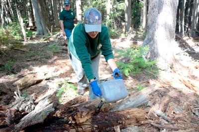 Studying black bears in Washington? Use cow blood and fish oil