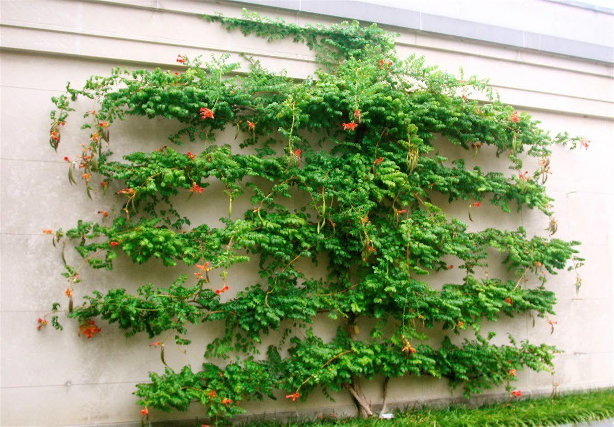 Espalier pruning has artistic and practical benefits