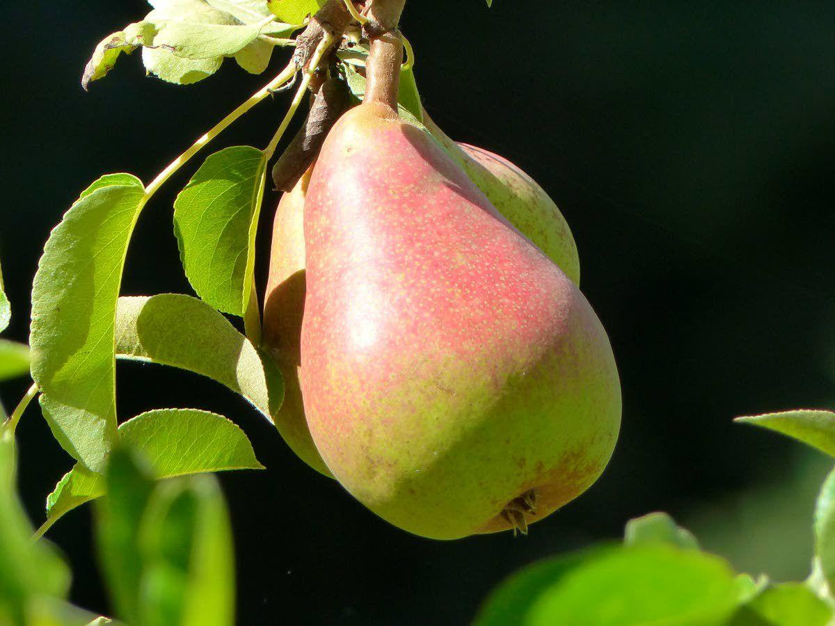 Nature offers different clues when fruit is ready to pick