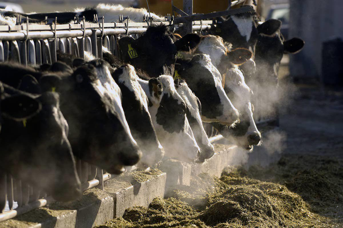 Cattle — both dairy and beef — drive Idaho's ag economy