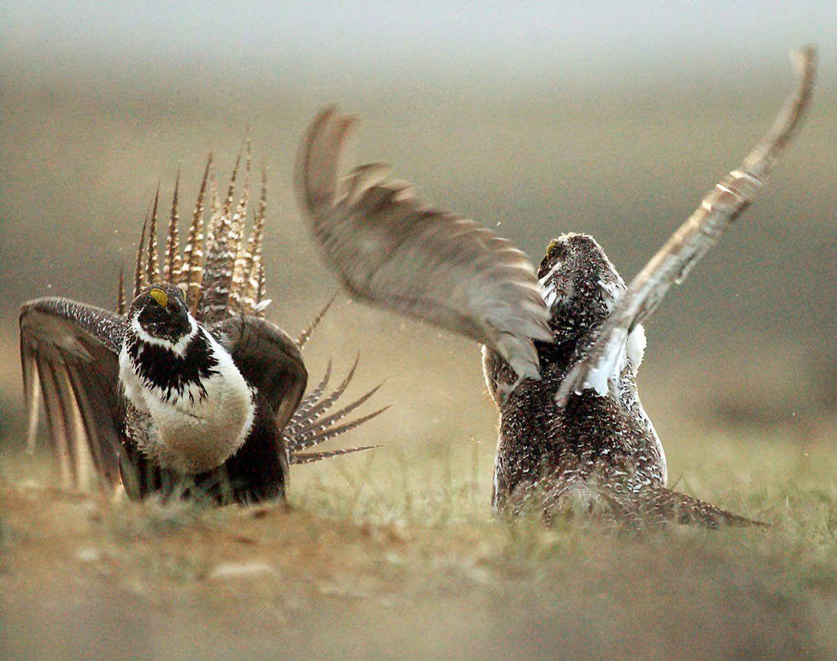 Wildlife official say sage grouse numbers are down significantly across West