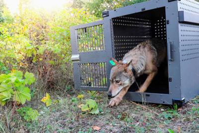 Reaction to federal wolf plan runs the gamut in the Evergreen State