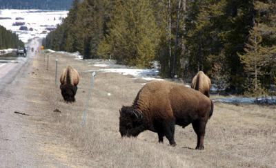 Yellowstone park officials warn visitors of dangerous behavior with bison