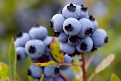 Black times for blueberry growers