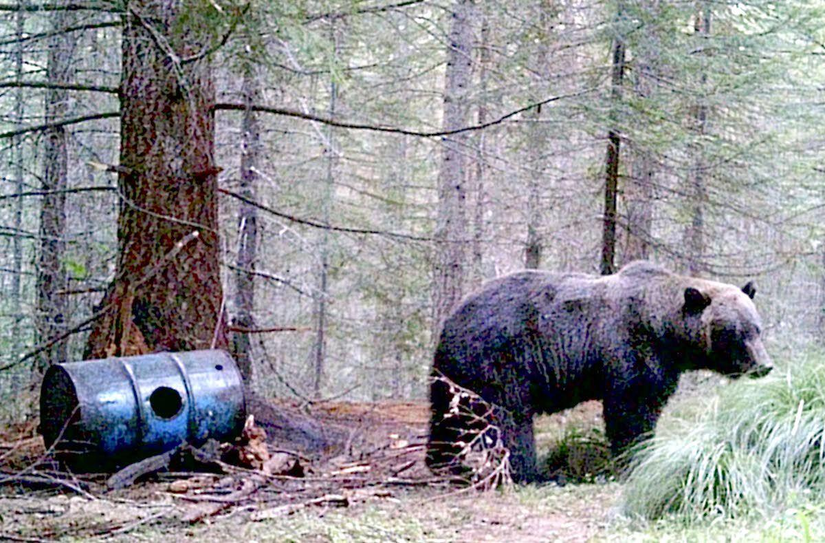 Second grizzly likely visited north central Idaho last year