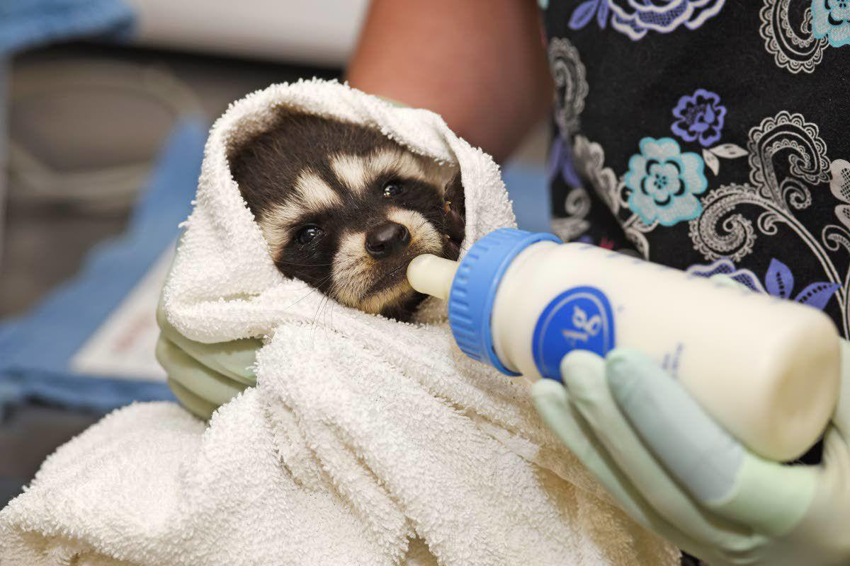 Ringtail rescues