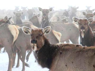 Brucellosis takes toll on Greater Yellowstone elk