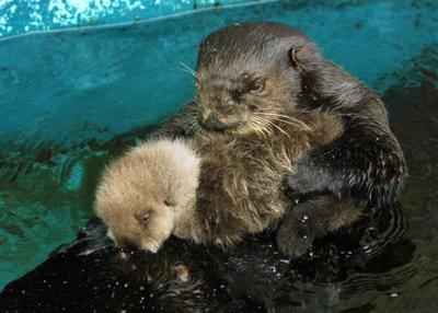 Seattle Aquarium's oldest sea otter dies at 23