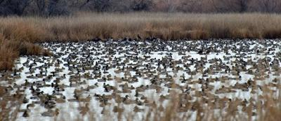 Pandemic again nixes feds' annual survey of ducks and geese