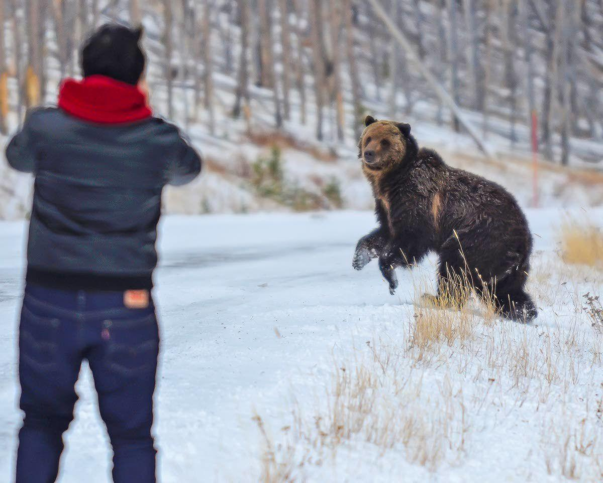 The urge to view bruins collides with growing population of bears, tourists