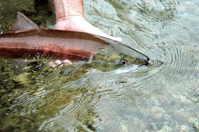 Officials predict poor sockeye return