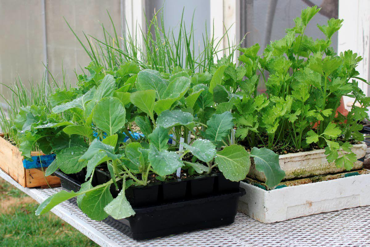 Have transplants ready to take spot of harvested vegetables