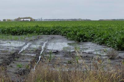 Bitter harvest for sugar beet farmers