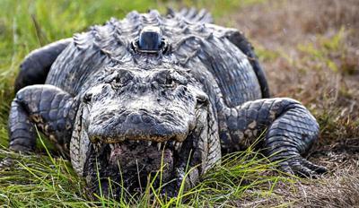 Alligators are wearing little 'hats' as part of habitat study