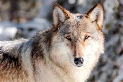 Yellowstone wolf watch