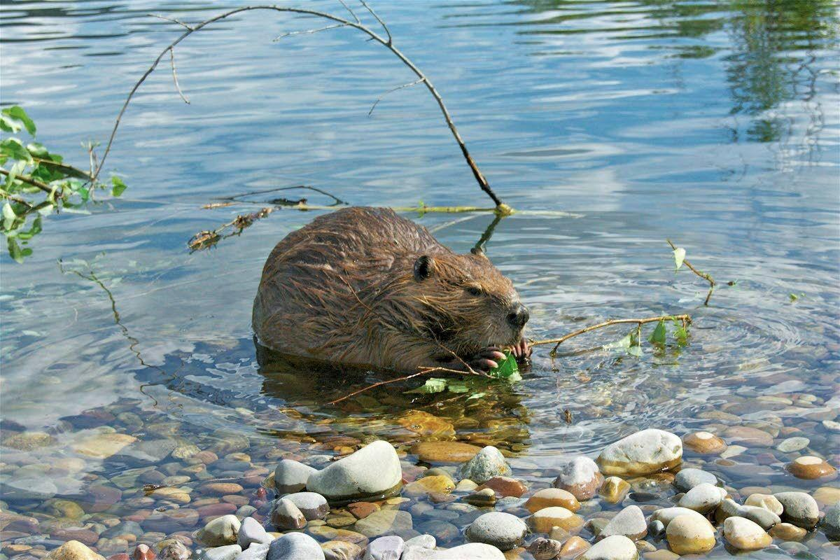 Wolves preying on beavers in Minnesota reshape wetlands
